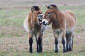 Przewalski's horses (Equus ferus przewalskii), Communication, Emsland, Lower Saxony, Germany, Europe