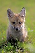 Eastern American Red Fox (Vulpes vulpes fulvus), young alert, sits in meadow, animal portrait, Pine County, Minnesota, USA, North America