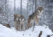 Grey Wolves (Canis lupus), two juveniles and one adult animal, standing in the snow, captive, Bavaria, Germany, Europe