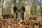 Wild boar (Sus scrofa) in spring in the woods, North Rhine-Westphalia, Germany, Europe