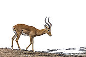 Common Impala (Aepyceros melampus) isolated in white background in Kruger National park, South Africa