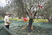 Men using an electric comb for harvesting olives, Kritsa, Crete, Greece