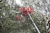 Electric comb for harvesting olives, Kritsa, Crete, Greece
