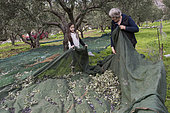 Alessandra, 7 years old, gathers olives with his aunt during olive harvest, Kritsa, Crete, Greece