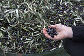 Alessandra, 7, shows black olives harvested to make olive oil in Kritsa, Crete, Greece
