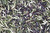 Black olives harvested to make olive oil in Kritsa, Crete, Greece