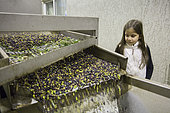 Alessandra, 7, watches the olive cleaning stage in the olive oil factory in Kritsa, Crete, Greece