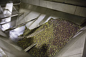 Arrival tray of olives in the olive oil factory in Kritsa, Crete, Greece