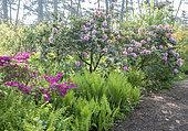 Rhododendron obtusum 'Amoenum', Rhododendron 'Mrs. G.W. Leak', Matteucia struthiopteris