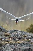 Arctic Tern (Sterna paradisaea) threatening a snake on rock, Utö, Finland