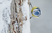 Blue Tit (Parus caeruleus) on trunk, Haukipudas, Finland