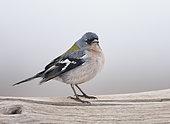 African Chaffinch (Fringilla coelebs africana), Morocco