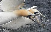 Gannet (Morus bassanus) fightin for fish, UK, Shetland