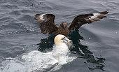 Great Skua (Catharacta skua) and Gannet (Morus bassanus), UK, Shetland