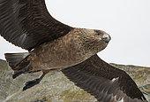 Great Skua (Catharacta skua),UK, Shetland