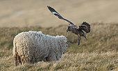 Great Skua chasing a Sheep away from its chick(Catharacta skua) July 2018 UK Shetland