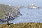 Great Skua (Catharacta skua) en ground, UK, Shetland