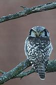 Hawk Owl (Surnia ulula) on a branch, Helsinki, Finland
