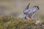 Merlin male (Falco columbarius), UK, Shetland