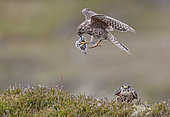 Merlin male has given the prey to female (Falco columbarius),UK, Shetland