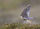 Merlin male (Falco columbarius) on heather, UK, Shetland