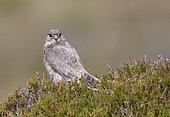 Merlin female (Falco columbarius) on heather, UK, Shetland