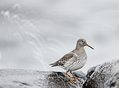 Purple Sandpiper (Calidris maritima) on shore, Utö, Finland
