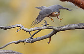Sparrow Hawk (Accipiter nisus) in flight, Norway