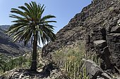 Canary Island Date Palm (Phoenix canariensis) and Candelabra euphorbias in the Barranco de Arure, Valle Gran Rey, La Gomera, Canary Islands, Spain, Europe