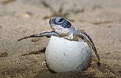 Leatherback turtle (Dermochelys coriacea) hatching, French Guiana