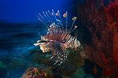 Speed Lion Fish (Pterois volitans), Mayotte