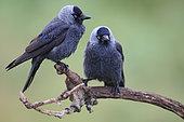 Eurasian Jackdaw (Corvus monedula) adults on a branch