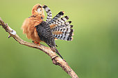 Red-footed Falcon (Falco vespertinus) female on a branch preening feathers