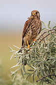Common kestrel (Falco tinnunculus) female perched with a prey in the beak
