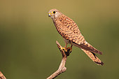 Common kestrel (Falco tinnunculus) female on a branch