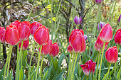 Tulipa 'Judith Leyster'