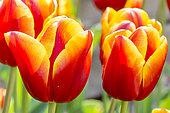 Tulip 'Ice Lolly' in bloom in a garden