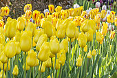 Tulipa 'Golden Dynasty'