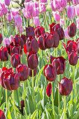 Tulipa 'National Velvet'