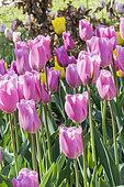 Tulipe 'Mistress'