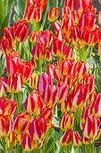 Tulip 'Florette' in bloom in a garden