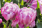 Tulip 'Pink Star' in bloom in a garden