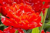 Tulipa 'Miranda'