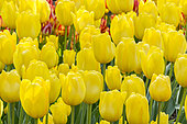 Tulip 'Marienthal' in bloom in a garden