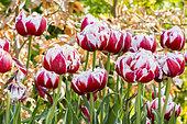 Tulip 'Horizon' in bloom in a garden
