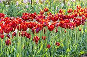 Tulip 'Abra' in bloom in a garden
