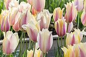 Tulip 'Yellow Flight' in bloom in a garden