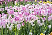 Tulip 'Shirley' in bloom in a garden