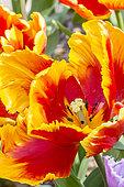 Tulip 'Bright Parrot' in bloom in a garden