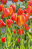 Tulip 'Orange Cassini' in bloom in a garden